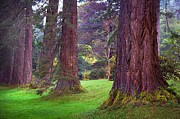 Giant Sequoias II. Benmore Botanical Garden. Scotland Print by Jenny Rainbow