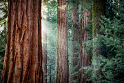 Redwoods Posters - Giant Sequoias in early morning light Poster by Jane Rix