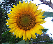 Jaxs Powell - Giant Sunflower