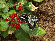 Insect Pyrography - Giant Swallowtail butterfly by Barbara Lightner