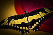 Flying Bugs Posters - Giant swallowtail butterfly Poster by Elena Elisseeva