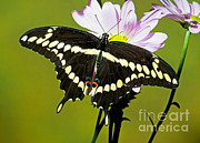 Papilionidae Prints - Giant Swallowtail Butterfly Print by Millard H. Sharp