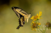 Gregory G Dimijian MD - Giant Swallowtail