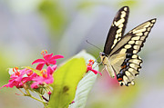 Pamela Gail Torres Metal Prints - Giant Swallowtail II Metal Print by Pamela Gail Torres
