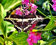 Marilyn Smith - Giant Swallowtail