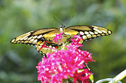 Pamela Gail Torres Metal Prints - Giant Swallowtail Metal Print by Pamela Gail Torres