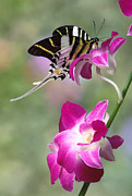 Robert Jensen Metal Prints - Giant swordtail butterfly Graphium androcles on orchid Metal Print by Robert Jensen