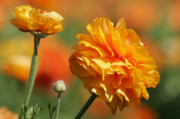 Apricot Metal Prints - Giant Tecolote Ranunculus - Carlsbad Flower Fields CA Metal Print by Christine Till