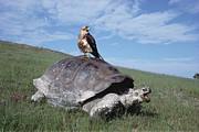 Nigra Photos - Giant Tortoise and Galapagos Hawk by Tui De Roy