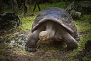 Giant Tortoise Print by Kim Andelkovic