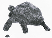 Reptiles Drawings - Giant Tortoise by Lucy D