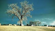 Fort Collins Prints - Giant Tree Print by Krista Sidwell