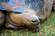 Jenny Rainbow - Giant Turtle in the Pamplemousse Botanical Garden. Mauritius