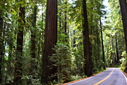 Huge Trees Posters - Giants and the Road Poster by Michelle Calkins