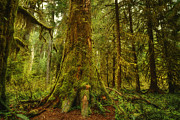 Old Growth Framed Prints - Giants Foot Framed Print by Stuart Deacon