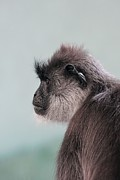 Gibbon Framed Prints - Gibbon Monkey Profile Portrait Framed Print by Tracie Kaska