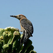 Gila Woodpecker Framed Prints - Gila Woodpecker Framed Print by Bob and Jan Shriner