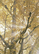 Ginkgo Trees Prints - Ginkgo Ginkgo Biloba Tree With Sunlight Print by Takahisa Hirano