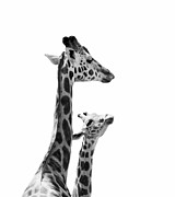 Mother And Baby Framed Prints - Giraffe Baby and Mother Framed Print by Stephanie McDowell