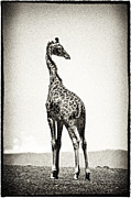 Dismal Framed Prints - Giraffe Backward Glance Framed Print by Mike Gaudaur