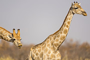 Bush Wildlife Framed Prints - Giraffe Behaving Badly Framed Print by Paul W Sharpe Aka Wizard of Wonders