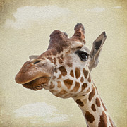 Patches Posters - Giraffe close up Poster by Svetlana Sewell