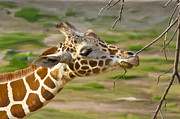 Photorealistic Prints - Giraffe Eating Print by Scott Laffin