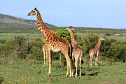 Masai Mara Prints - Giraffe Group On The Masai Mara Print by Aidan Moran