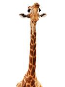 Giraffe Head Isolate On White Print by Mythja  Photography