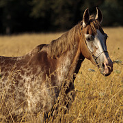 Forelock Photos - Giraffe Horse D7330 by Wes and Dotty Weber