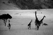 African Animals Photo Posters - Giraffe in Black and White Poster by Sebastian Musial