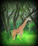 Photographer Paintings - Giraffe in Florida by John Malone