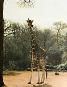 Jeanette K - Giraffe