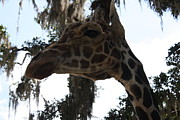 Pallet Knife Photo Posters - Giraffe Poster by Michael Kulick