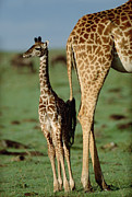 Giraffes Framed Prints - Giraffe Mother with Young Framed Print by Tim Fitzharris