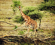 Giraffe On African Savanna Print by Michal Bednarek