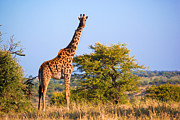 Single Art - Giraffe on savanna. Safari in Serengeti. Tanzania. Africa by Michal Bednarek