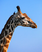 Slim Photo Prints - Giraffe portrait close-up. Safari in Serengeti. Tanzania Print by Michal Bednarek