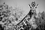 Giraffe Photos - Giraffe Talk by Douglas Barnard