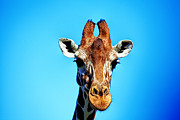 Giraffe Photos - Giraffe Talk V2 by Douglas Barnard