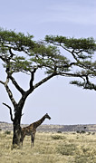 Jay Fries - Giraffe Under Acacia Tree