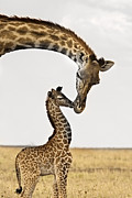 Giraffe Prints - Giraffes First Kiss Print by Carol Walker