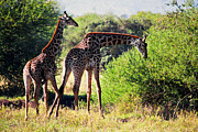 Slim Photo Prints - Giraffes on savanna eating. Safari in Serengeti Print by Michal Bednarek
