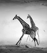 Johan Swanepoel - Giraffes on the run