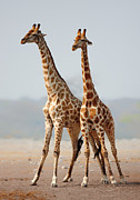 Giraffes Standing Together Print by Johan Swanepoel