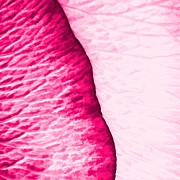 Tracie Kaska - Girly Pink Rose Abstract