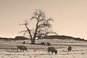 Wildlife Art Acrylic Prints Prints - Give Me A Home Where The Buffalo Roam Sepia Print by James Bo Insogna