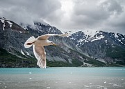 Feather Pyrography Metal Prints - Glacier bay Flyby Metal Print by Randy Turnbow