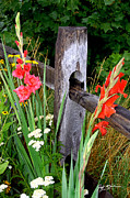 Gladiolas Digital Art Framed Prints - Glad Split Rail Framed Print by Jeff McJunkin