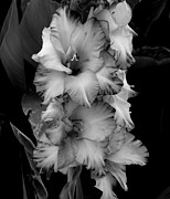 Gladiolas Posters - Gladiolas in Black and White Poster by Kitrina Arbuckle